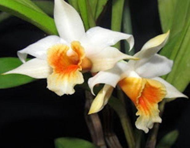 Dendrobium cariniferum. Orquidário Santa Bárbara