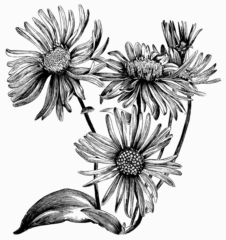 December Birth Flower Tattoo Black And White: Aster Flower Tattoos, Daisy