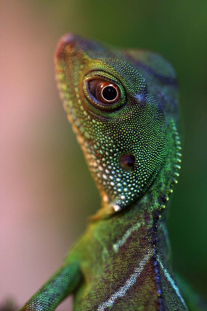 © Diana Harrison      Chinese Water Lizard