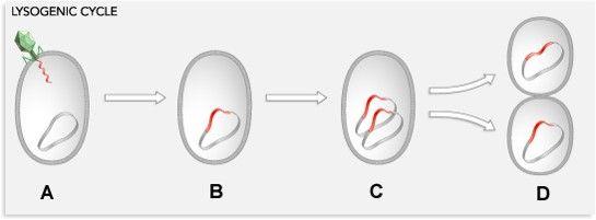 Viruses- Lysogenic Cycle