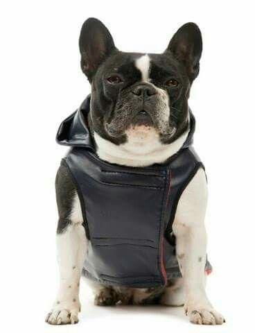 Manteau sport rock bleu marine pour bouledogue fraçais ou bulldog anglais de chez For boule only