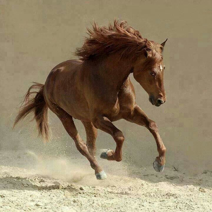 Brown beauty, wild, horse, hest, dust, dusty, running like ... - photo#23