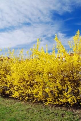 Row of Forsythia good use as a boarder between you and your neighbors yard. Fast growing