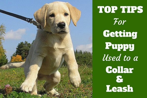Learn a stress free way to get your puppy used to a collar and leash that lays the foundation for a dog that doesn't pull on the leash when an adult.