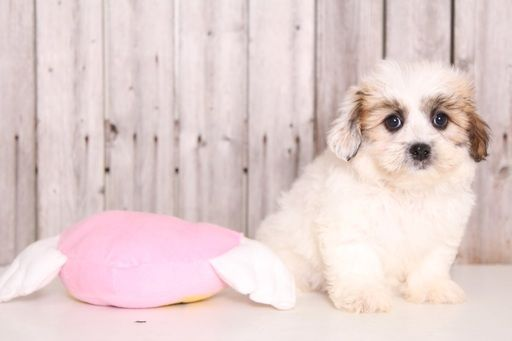 Zuchon puppy for sale in MOUNT VERNON, OH. ADN-32704 on PuppyFinder.com Gender: Female. Age: 9 Weeks Old