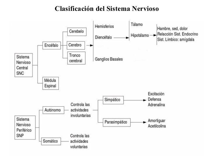Cuadros sinópticos sobre el Sistema Nervioso Central y Periférico | Cuadro Comparativo