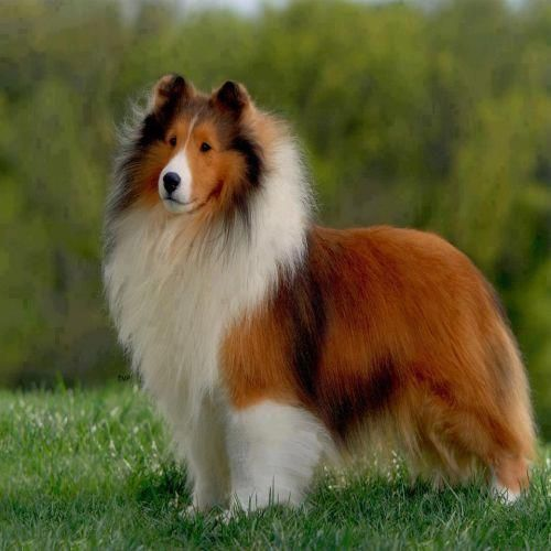 shetland sheepdog also called a sheltie this one is sable with a full shawl white collar. Black Bedroom Furniture Sets. Home Design Ideas