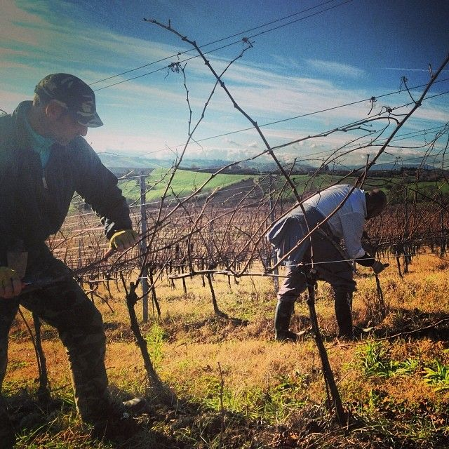 La potatura invernale nella vigna del nostro Bianchello e' cominciata .. #potatura #pesarourbino #marche #vineyard #wine #bianchello #bianchellodelmetauro #italy #land #terra #hill