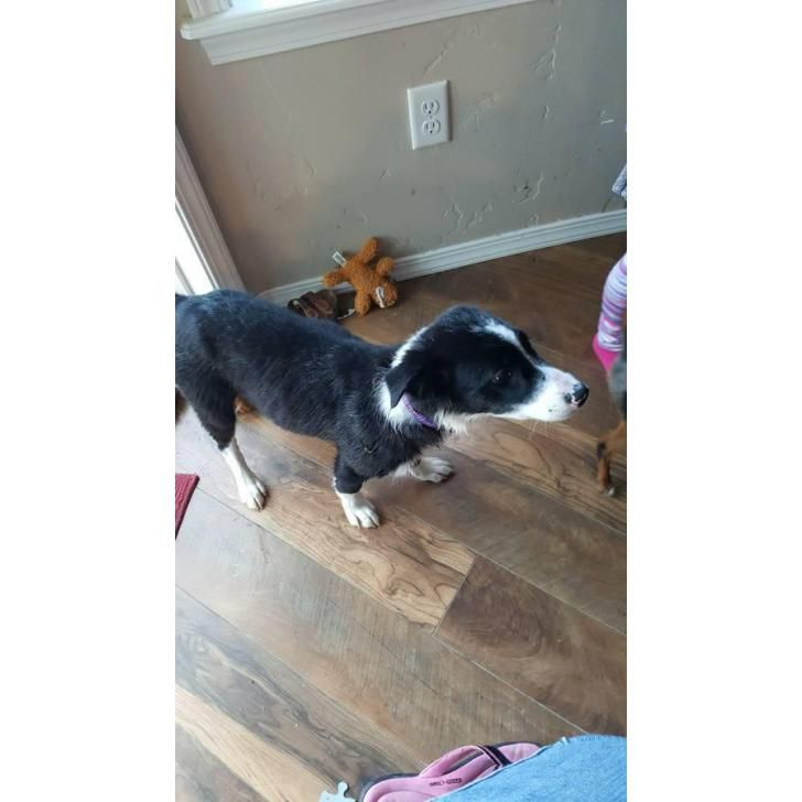 Border Collie for sale Idaho