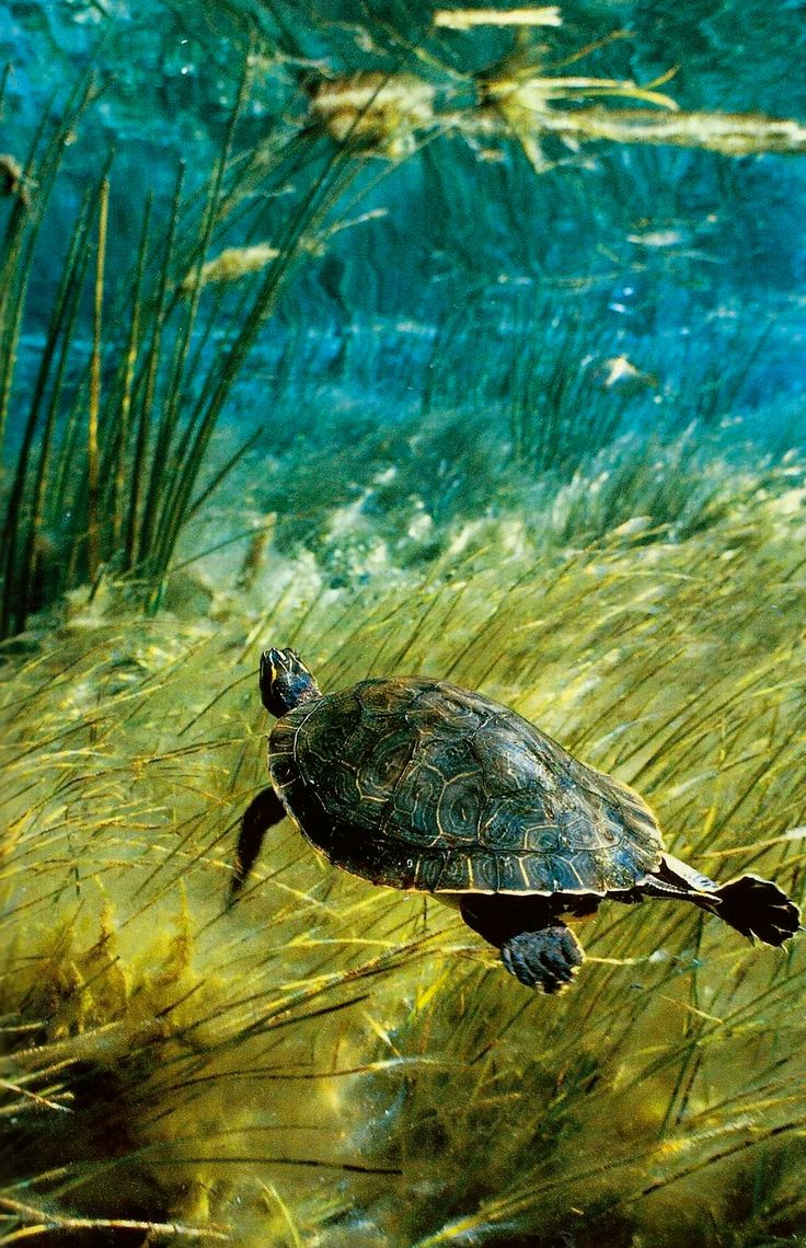 A freshwater Suwannee cooter cruises the waters of Florida's Rainbow Run National Geographic