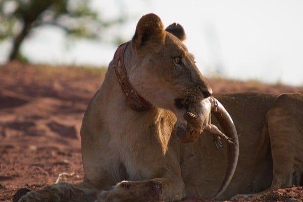 LAKE KARIBA MATUSADONA NATIONAL PARK ZIMBABWE AFRICA: Lioness with recent monitor lizard kill. (Photo Credit: MATTHEW HOOD/ DON PERCIVAL/ Goddunnit Promotions)