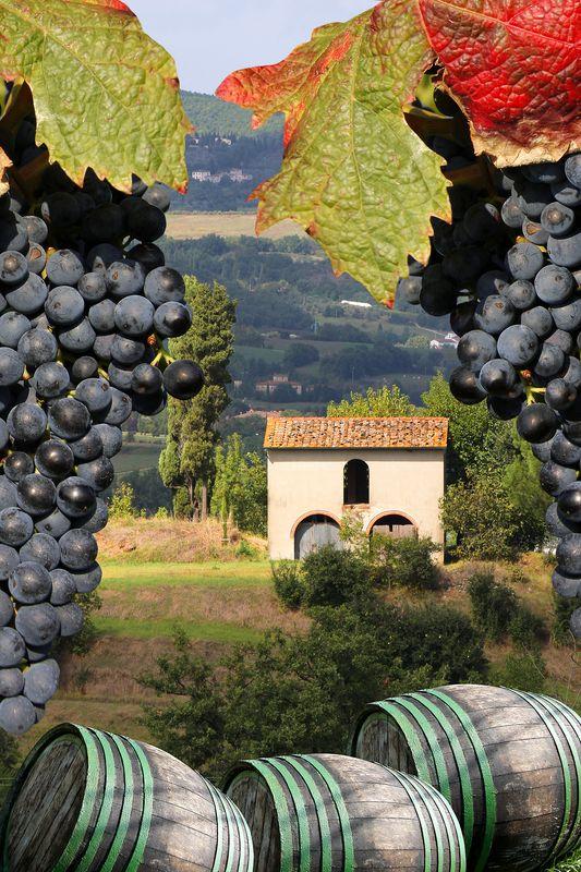 vineyard in Chianti, Tuscany, Italy..