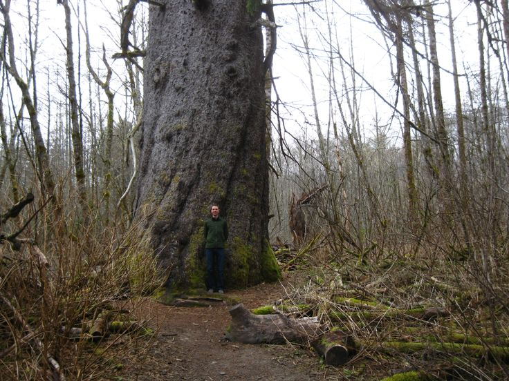 Giant sitka spruce tree - Kitimat, BC