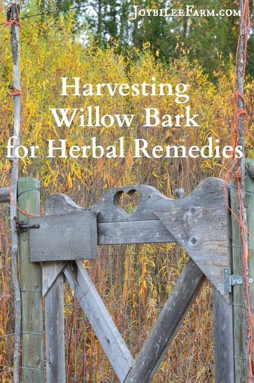 How to harvest willow bark from Salix Alba spp.to make herbal remedies to replace aspirin-like OTCD