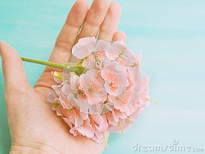 Pink geranium flower in an open hand