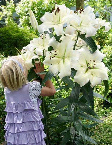 "Pretty Woman Orienpet Lily! Elegant, graceful, and chic.  Large white 8"" diameter blooms will adorn this statuesque, sweetly fragrant tree lily, that has strong stems that do not require staking. This tree lily will grows 3-4' the first year and up to an amazing 6-8' at maturity! You can expect 20-30 flowers on each plant by the third growing season! Great choice for naturalizing, vertical accent or back of the border plant! Plus with this graceful beauty is EASY"