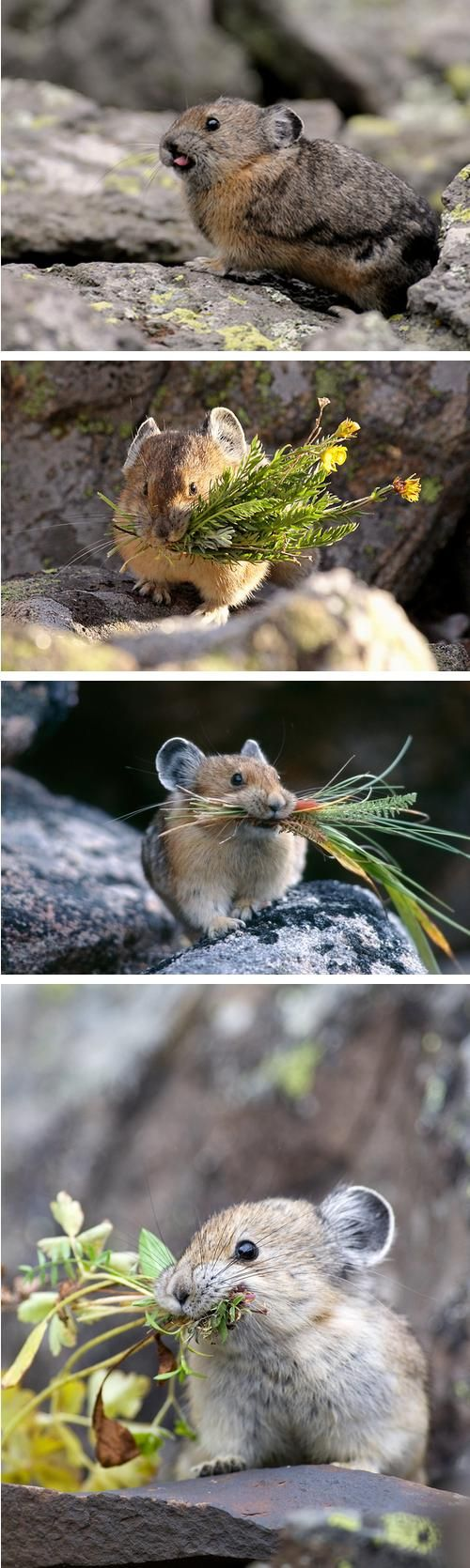 Pikas at work. Not rodents - more related to rabbits. Tiny but very territorial, will sit on a rock and whistle to scare you away. High alpine or on tundra, threatened by global warming.