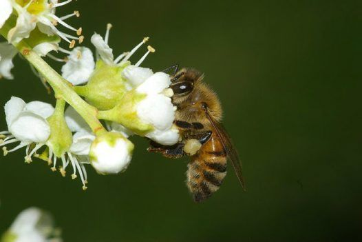Honey Bee the western honey bee or European honey bee (Apis mellifera) is a species of honey bee.