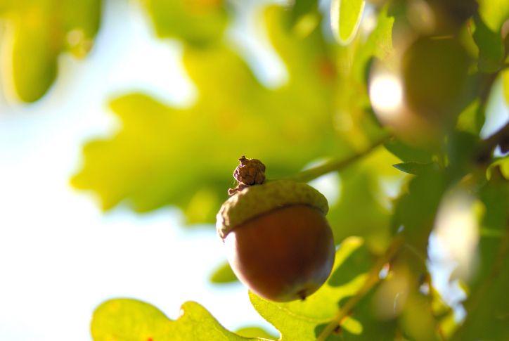 Plody lesa - připravte si z dubu lék, dezinfekci i kafíčko
