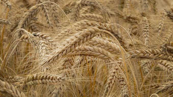 Glutenin etkisiyle oluşan, ama çölyak hastalığı gibi otoimmün veya buğday alerjisi gibi alerjik olmayan hastalıklar grubudur. 2011 yılından beri tıp bilimince kabul görmektedir. Gluten, buğday, arpa, çavdar gibi dünyadaki insanlarının büyük bir grubunun ana besin [Devamını Oku]