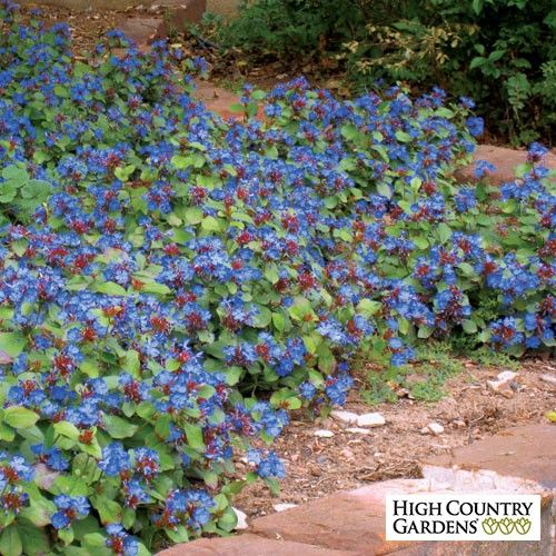 (Ceratostigma plumbaginoides) Hardy Plumbago is one of the most versatile groundcovers for cold climates growing in both sun and shade and most soil types. It blooms in late summer with deep blue flowers followed by the foliage that turns burgundy red in fall.