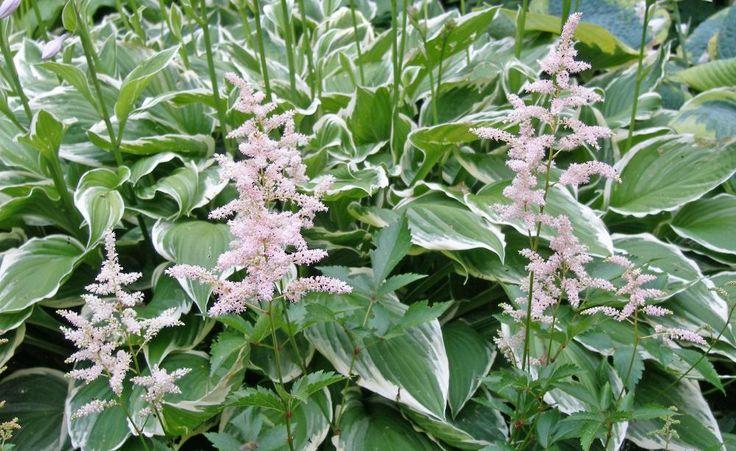 17 best Blühender Innenhof images on Pinterest Garden plants - gartenpflanzen winterhart immergrun