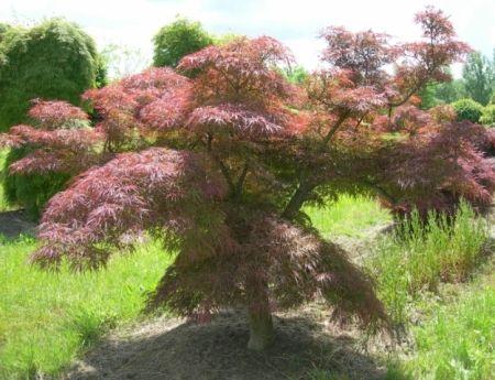 Acer palmatum 'Pink Filigreen'
