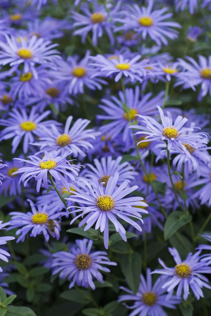Asters As September's birth flower, asters represent love and patience. The star-like blooms add splashes of purple, pink and violet toward the end of summer.  GETTY