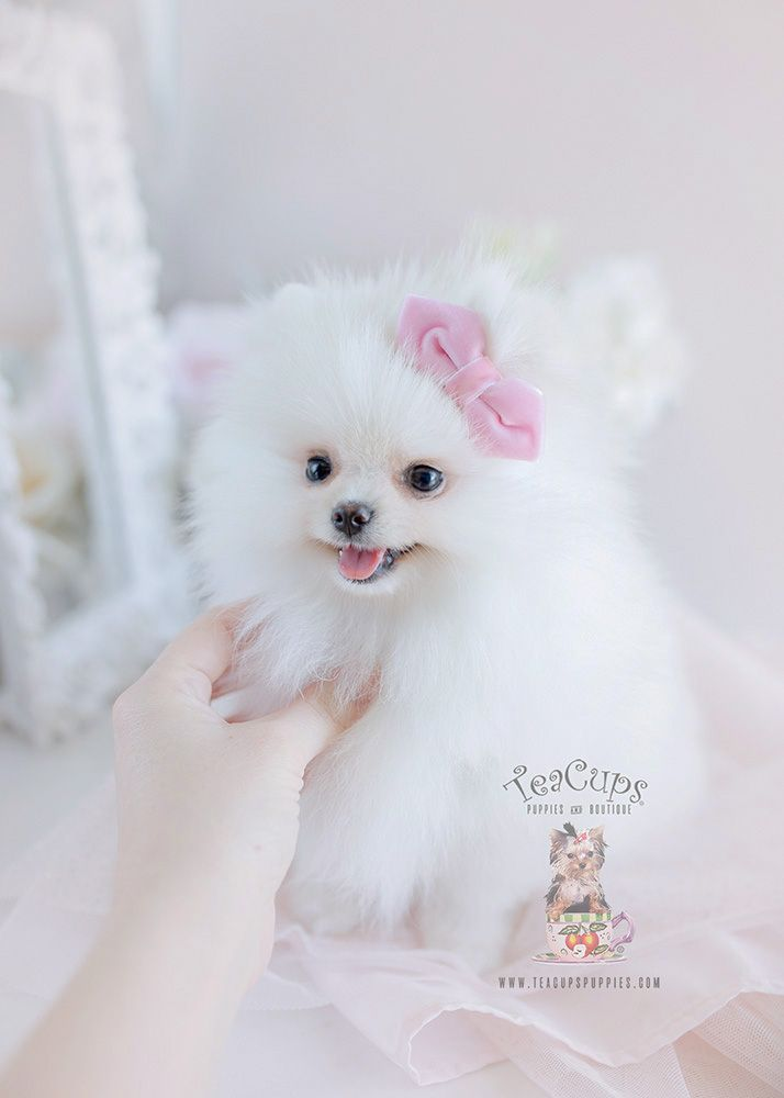 White Pomeranian Puppy For Sale 105 Teacup Puppies Ab White Pomeranian Puppies Pomeranian Puppy Teacup Puppies