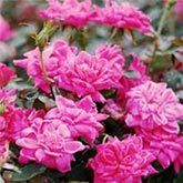 Pink Knockout Rose Tree for Sale   Fast Growing Trees