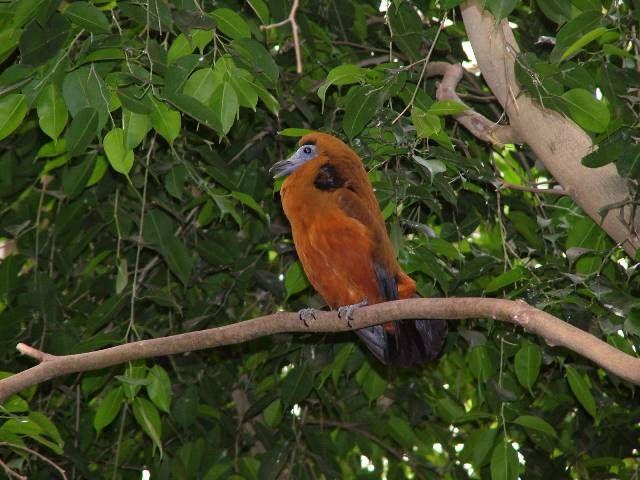 Capuchinbird veya calfbird (Perissocephalus tricolor) Cotingidae ailesinin büyük bir kuş türüdür. Cins Perissocephalus içinde monotypic. Bu nemli ormanlarda (1400 metre (4,600 ft) ama daha çok aşağıda 600 m) Kuzey-Doğu Güney Amerika, neredeyse tamamen Amazon nehri kuzeyinde ve doğusunda Rio Negro (Kolombiya, Venezuela, Brezilya ve Guyana) bulunur.