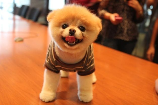 So cute!!!: Cutest Dogs, Pet, Adorable Bunnies, Most Adorable Animal, Pomeranians, Things, Boo The Dogs, Fluffy Puppies, Make Me Smile