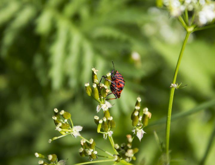 Red Bug - Reimerh Designs