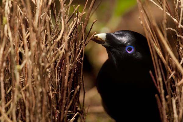Gli uccelli giardinieri e l'arte  della seduzione