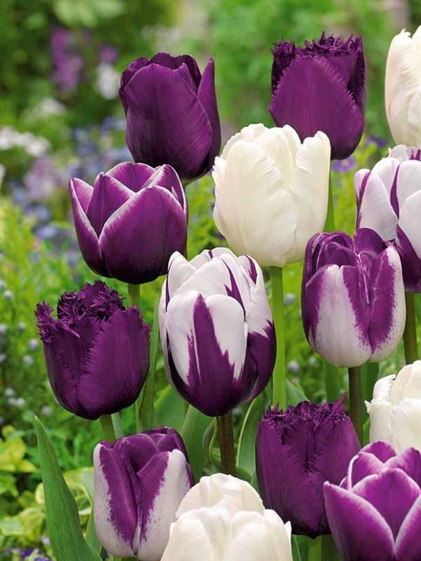 12 Tulipes en mélange mauve/blanc