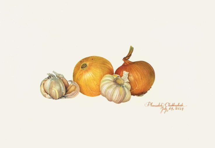 Phansakdi Chakkaphak, Onion and Garlic (Allium cepa & Allium sativum), Gouache on Fabriano paper, 10 3/8 x 15ins (26.25 x 38cm)