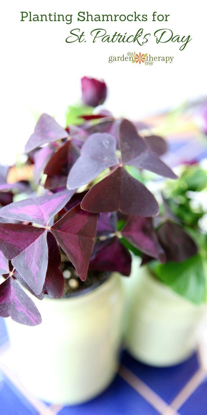 Make painted mason jar planters and plant shamrocks (oxalis) for St. Patrick&#39...
