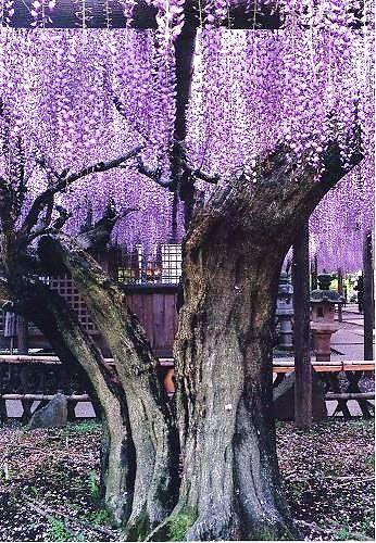 800 year old Wisteria tree, Kumano, Shizuoka, Japan