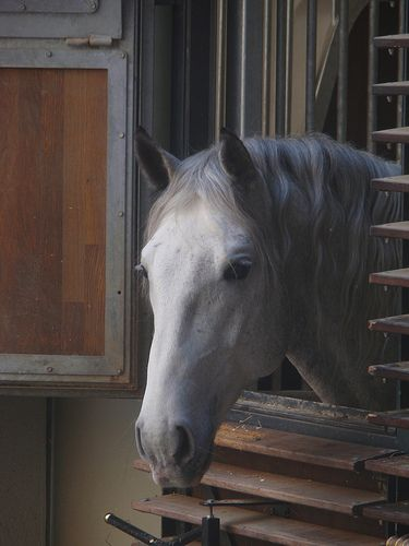 Grüß Gott, Herr Lipizzaner!  one of the famous Lippizaner horses - no we have no sugar for you!