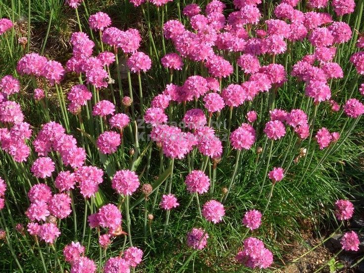 Wintergroene – groenblijvende bodembedekkers - Engels gras