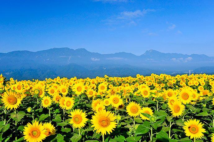 Akeno Himawari Batake (Akeno Sunflower Field)  Sunflower Fields Colors Summer in Japan