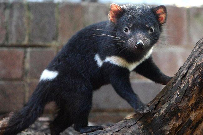 Tasmanian Devil | The Tasmanian Devil | All Amazing Facts