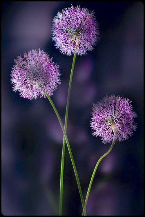 three purple puffs