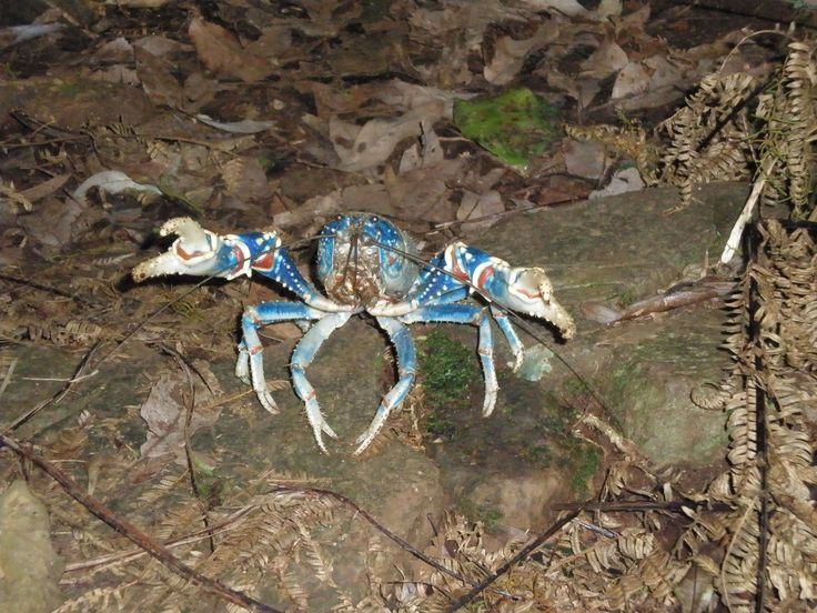 Crayfish on then Taloona circuit track, Lamington National Park QLD