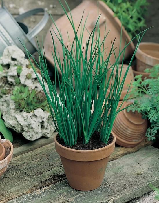 Gräslök:   (Allium schoenoprasum)   Nyhet 2013 Starkväxande och lättodlad sort med mild och fin löksmak. Ett måste till sill och potatis och god i sallad och såser. Går bra att frysa. Så direkt på växtplatsen på friland eller i kruka. Flerårig. Ca 750 frön.  (Ordinarie pris 21 kr)