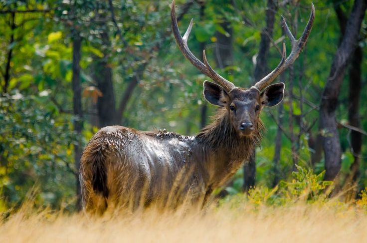 Sambar deer - loved his innocent and cur Photo by Akila A. — National Geographic Your Shot