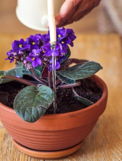 Arrosage Du Saintpaulia L Une Des Plantes D Intérieur Préférées Jardiniers