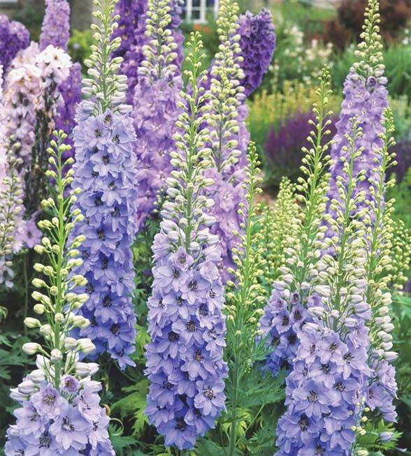 Hummingbirds love delphinium, which blooms in early summer. Height for these perennials can average anywhere from 2 to 8 feet tall, depending on variety. Delphinium requires rich soil, and areas with relatively cool summers.