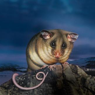 Australia's mountain pygmy possum