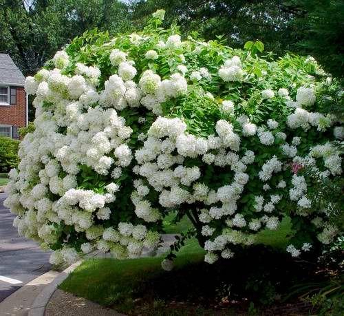 Hydrangea Paniculata- PeeGee Hydrangea- Floers tend to turn pink as they age.